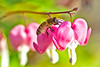 No Problem On Landing to Bleeding Heart(금낭화로 착륙에 이상이 없습니다.) (Fallen Gentleman) Tags: wild people colour macro nature animal animals horizontal closeup canon bug insect lens outdoors photography eos rebel living fly flying amazing interesting focus scenery kiss natural image outdoor no wildlife bees watching birding flight scenic tranquility scene 11 images full bee landing 28 magnified flapping length tamron 90mm touchdown 90 honeybee flap f28 tranquil freshness determination selective t3i x5 honeybees magnification organism hymenoptera behaviour perching 비행 fragility hymenopteran 600d 벌 꿀벌 behavioural 랜딩 착륙