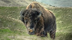 Bison Prowling Towards Me .. Montana