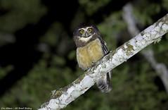 Spectacled Owl_Murucututu_Pulsatrix perspicillata