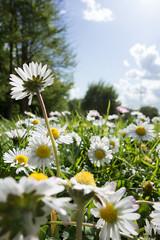 Gänseblümchenwiese (Teelicht) Tags: flower backlight germany deutschland meadow wiese daisy blume braunschweig gegenlicht bellis gänseblümchen niedersachsen lowersaxony heidberg