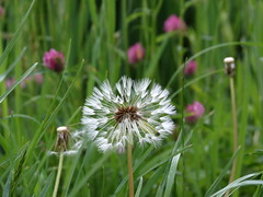 IMG_8851 (germancute ***) Tags: flower nature germany landscape deutschland thüringen duck thuringia blume wildflower landschaft germancute