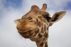Mean old giraffe (lit t) Tags: giraffe lazy5ranch canon60d mooresvillenc terridoaktaylor