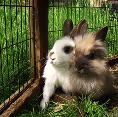 Alan and Cecil (rjmiller1807) Tags: bunny bunnies may fluffy rabbits bun oxfordshire kaninchen lionhead rspca harwell 2015 rehoming