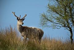 Red deer stag [Explored 31.05.15] (AJC1) Tags: animals wildlife deer mammals