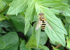 Hoverfly - Epistrophe Grossulariae