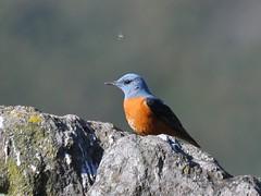 Melro-das-rochas / Rock Thrush (anacm.silva) Tags: wild naturaleza bird portugal nature birds wildlife natureza aves ave melro serradafreita monticolasaxatilis rockthrush melrodasrochas