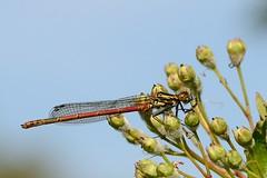 Large Red Damselfly Pyrrhosoma nymphula Upton f (JohnMannPhoto) Tags: nwt damselfly upton