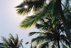 Palms (Katie Tarpey) Tags: light sun film 35mm palms kodak australia bluesky palm palmtree queensland tropical nikonfm10 portdouglas kodakportra400 nikkor50mm14