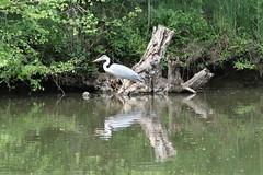 Etang des Mirandes_Varaignes_IMG_5298 (Hlne (HLB)) Tags: france reflection bird water animal pond eau europe dordogne prigord reflexion oiseau etang mirandes varaignes