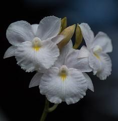 Broughtonia sanguinea var. alba (ACEZandEIGHTZ) Tags: white orchid macro nature closeup nikon blumen species blume orchidea doublefantasy floralfantasy d3200 perfectpetals simplysuperb exquisiteflowers mimamorflowers saariysqualitypictures thebestofmimamoresgroups