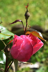 DSC_1572 Pink Rose (PeaTJay) Tags: flowers roses plants macro nature rose gardens fauna outdoors reading flora micro closeups berkshire rosebuds lowerearley nikond750