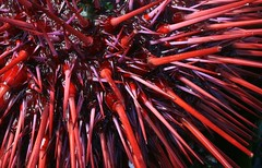 Urchin (ebbtidearts) Tags: red sea colour nature lines bright spines simple urchin