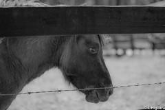 DSC_0020.jpg (Juan E. Higuera) Tags: blackandwhite bw horse animals 50mm nikon farm bucolic fazenda d5300