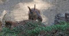 DSC08447rawcon_a (ger hadem) Tags: veluwe zwijn eekhoorn gerhadem