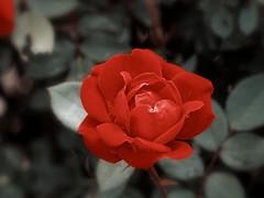 Rose in the Wild (JY_Photos) Tags: columbus usa plant flower nature water rain rose indiana olympus mft dxooptics jyphotos micro43 microfourthirds 1240mmf28pro mzuikoed1240mmf28pro mzuikoed40150mmf28pro 40150mmf28pro omdem5markii