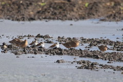 Dowitchers and Dunlins (astro/nature guy) Tags: bird dunlin dowitcher illinoisbird champaignbird