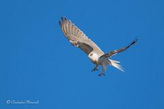 cmorecroft_photo_160514_3437 (Chris Morecrofts - Australian Bird Images) Tags: brisbane australianbird chrismorecroft blackshouldererdkite