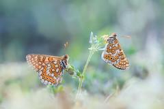 Buenos dias (too15) Tags: light macro spring spain nikon bokeh butterflies galicia tamron mariposas ourense valdeorras