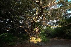 DSCF9302 (ababh) Tags: okinawa  sanctuary banyantree  gajumaru sacredtree yaeyama    taketomiisland ficusmicrocarpa
