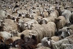 Counting Sheep (Wilga [notrespassing.pl]) Tags: wild nature animals georgia photography shot sheep alive herd journalism republicofgeorgia wypas