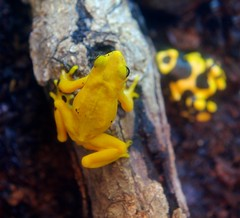 Poisonous Dart Frogs (imageClear) Tags: nature animals yellow aperture nikon flickr reptile frog photostream sheddaquarium d600 yellowfrog imageclear 2470mmvr