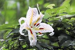 Golden rayed lily (shinichiro*) Tags: 20160716sdq0199 2016 crazyshin sigmasdquattro sdq sigma18300mmf3563dcmacrooshsm 薬師池公園 tokyo japan flower macro goldenrayedlily yuri 百合 ユリ