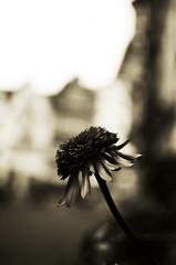 bokehlicius (Claudio Taras) Tags: street shadow bw flower monocromo nikon bokeh ngc natura monochrom fiori claudio biancoenero controluce trier taras streetshot contrasto 35mm18