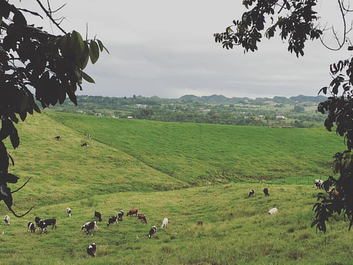 My #office view.  #karst #puertorico #geology #fieldwork #phd #student #grass #cows
