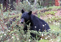 A Berry Busy Bear (Patricia Henschen) Tags: bear canada black mountains rockies nationalpark pacific northwest parks rocky alberta banff roadside northern blackbear parcs banffnationalpark parkscanada bowvalleyparkway parcscanada