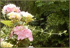 Lichtdurchflutete Schnheit ... (Kindergartenkinder) Tags: burg hlshoff kindergartenkinder hortensie garten blte pflanze outdoor blume pastell blumen personen im hinzufgen