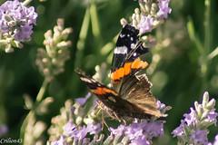 Et a pompe... (Crilion43) Tags: france tamron divers animauxdivers papillon paysage jardin insectes vreaux canon lavande centre fleurs bourdon cher objectif abeille brouillard chenille gupe herbe nature rflex