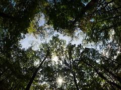 All U Gotta do is Look UP!! (d_aryu) Tags: olympus zuiko fisheyelens fisheye olympusomdem1 omd starburst treetop
