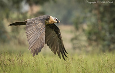 Bearded Vulture (Gypaetus barbatus) (Bird Guide UAE - 1M+ Views thanks !) Tags: birds ethiopia amhara gypaetusbarbatus beardedvulture