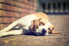 Sleepy Po... (Odd Jim) Tags: dogs dog beagle canon6d animal cute puppy bokeh prime