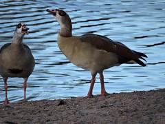 Egyptian geese (deannewildsmith) Tags: egyptiangoose bartonmarina goose bird earthnaturelife