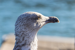 seagull close up (maikepiel) Tags: seagull mwe bird vogel water wasser bokeh dof nature animal close up eye auge feathers federn