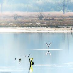 """""""V"""" (Objects1000) Tags: tamron150600mm nisqually nisquallynationalwildliferefuge nikon gull nature water patterns reflection nikond750 bird birdwatching dupont washington unitedstates us"""