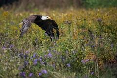 Eagle in the Flowers (Jen St. Louis) Tags: baldeagle eagle inflight canadianraptorconservancy simcoe ontario canada birdsofprey birds raptor nikond750 nikon70200mmf28 jenstlouisphotography wwwjenstlouisphotographycom flowers