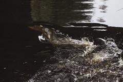 (North Bothnian Supremacy) Tags: pike fish