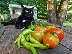 Black Cat & Home Grown Vegetables (r.w.dawson) Tags: 2016 mimi tomatoes peppers hotbananpeppers vegetables homegrown cat blackcat pet