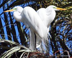 DSC_0910 (rachidH) Tags: birds oiseaux egrets herons aigrette greatwhiteegret garcetagrande ardeaalba whiteheron egrettaalba grandeaigrette plazaitalia buenosaires argentina rachidh nature