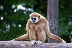 DSC03194 (hofferp) Tags: animallove animalphotos animals zoobudapest zoolife hungary sostozoo sonya300 sonydslr sonycam tiger whitelion littlepanda katta lion zebra orangutan