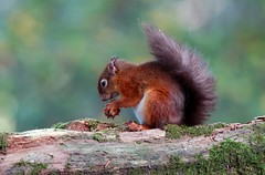 Quintessential Autumn (SteveJM2009) Tags: sciurusvulgaris redsquirrel sweetchestnut eating log moss eye ears tail hands tufty red squirrel woods woodland sun light fluffy autumn october 2014 stevemaskell brownseaisland brownsea dwt dorsetwildlifetrust poole dorset uk