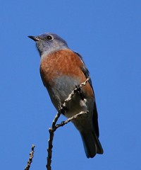 Western Bluebird (Joyce Waterman) Tags: western bluebird thrush sialia mexicana