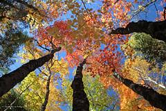 L'harmonie de la lumire  / Harmony with daylight  (4-4) (deplour) Tags: feuilles automne couleurs arbres leaves autumn colors trees harmonie lumire light harmony