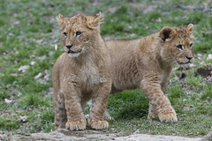 Leeuw (Lion) 0432