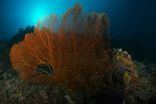 Sea fan, Moyo Island, Indonesia