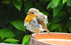 Ruffled Robin (Pufalump) Tags: tree nature robin garden friend erithacus branches feathers cheeky scruffy redbreast ruffled rubecula britainsnationalbird