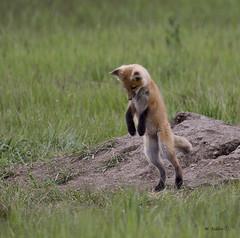 fox-kitts-0439 (Mike Taddeo) Tags: summer mike grass animal canon day o ab alberta e u kit kitt kitts fgot