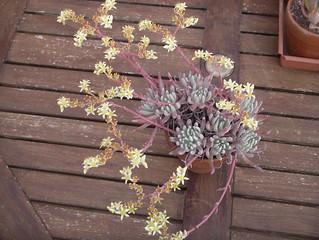 Dudleya virens ssp hassei